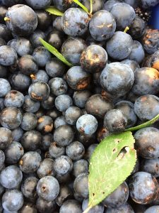 This year's crop of sloes
