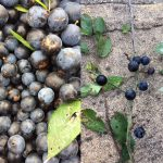 Sloe berries from the blackthorn bush