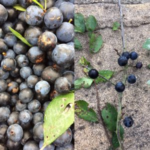 Sloe berries from the blackthorn bush