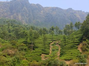 Tea growing country