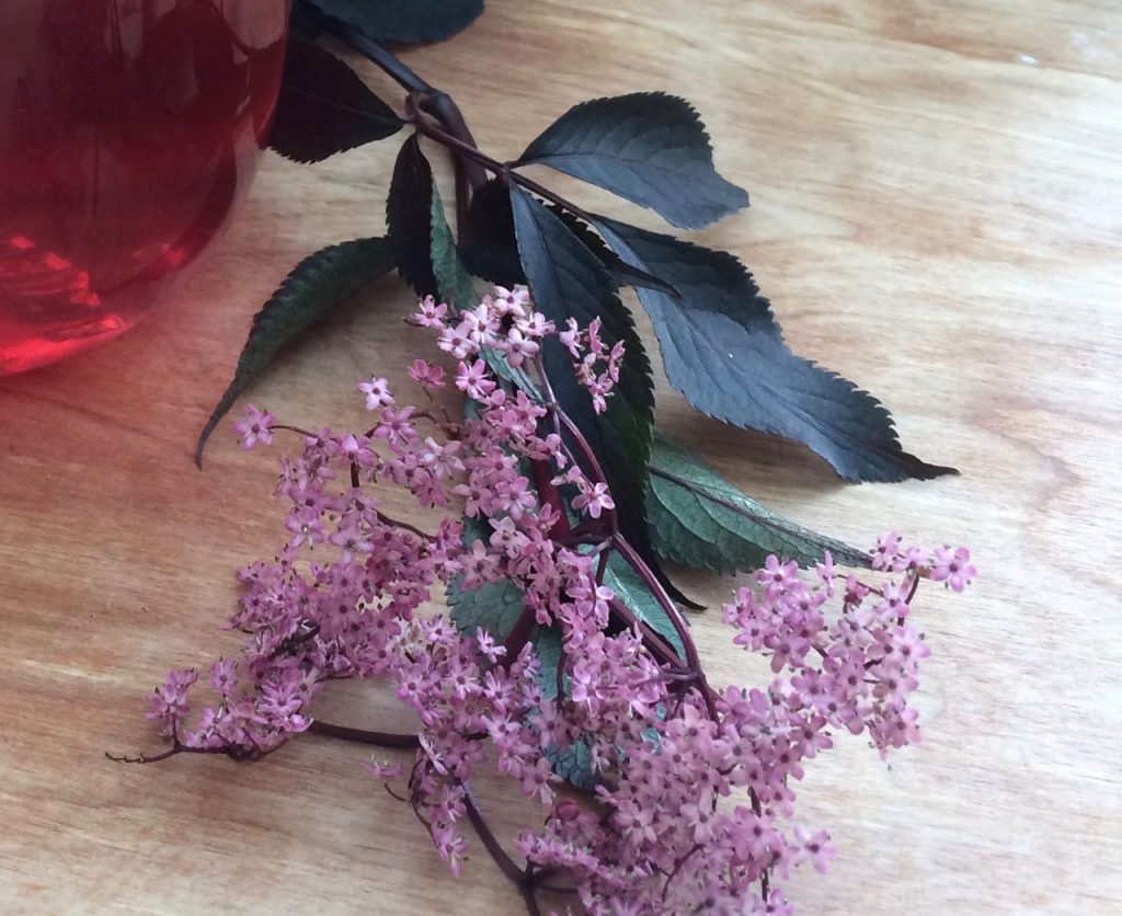 Beautiful pinky purple elderflowers