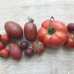 A selection of home grown tomatoes