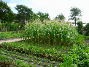 Sweet corn in the kitchen garden