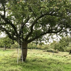 One of the amazing old trees in Aunt Lucy's orchard