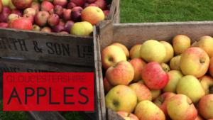 Hundred year old apple trees producing eating, cooking and cider varieties