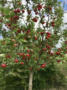Bright red heritage apples