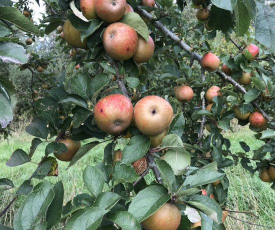 The trees are truly laden with apples