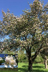 Gloucestershire heritage apple blossom