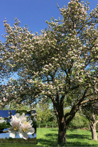Gloucestershire apple blossom in spring