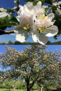 Gloucestershire apples in springtime at Day's Cottage orchard