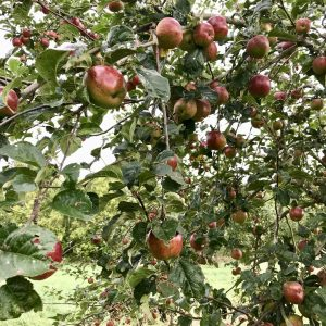 Apples on the tree back in autumn