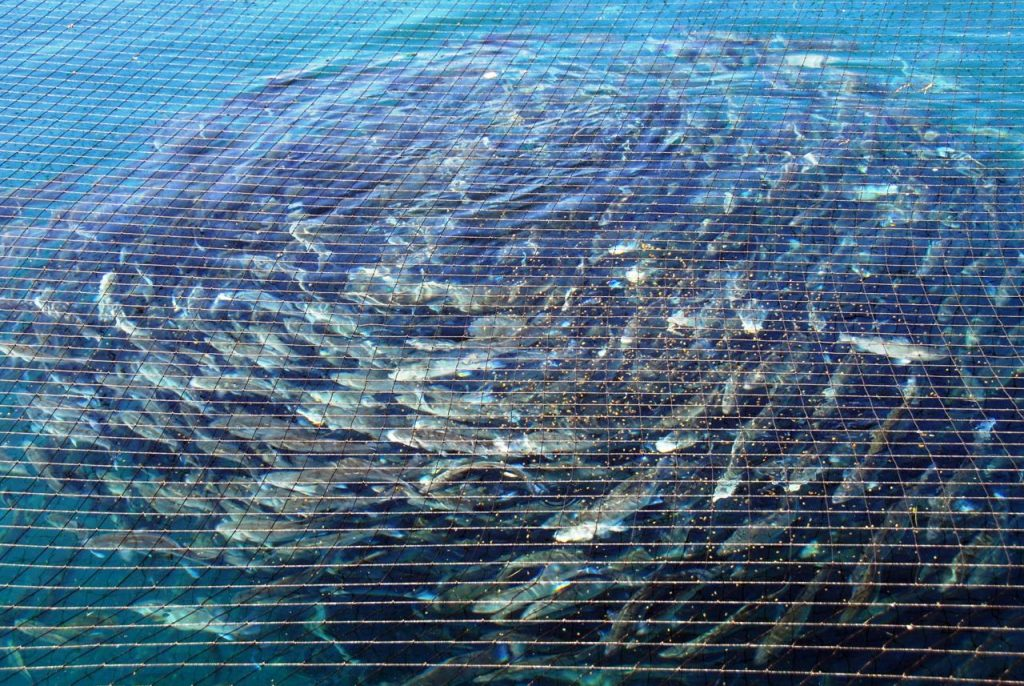A swirl of sea bass. Photo courtesy of Fonda SI