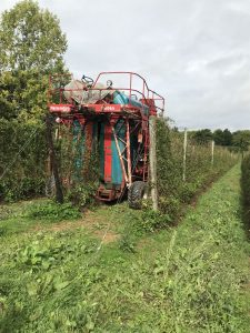Lower growing hops are harvested by machine