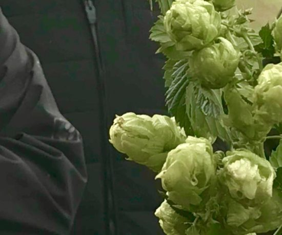 The hop cones appear so delicate