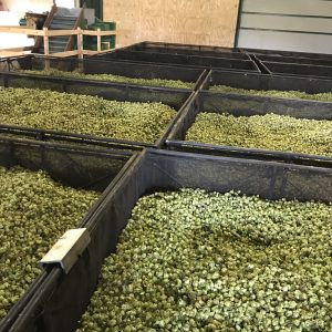 After drying the hops are conditioned to allow a little moisture to return