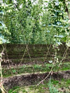 Looking through the rows of hops strung with coir rope