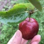 A Dabinett cider apple?