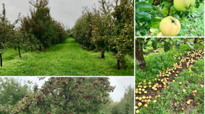 The exhibition orchard where 450 apple trees grow