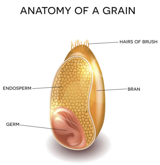 Anatomy of a grain from Fab Flour Advisory Bureau