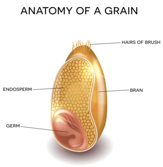 Anatomy of a grain from Fab Flour Advisory Bureau